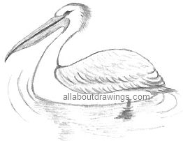 Pelican Drawing