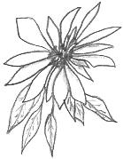 Poinsettia Drawing