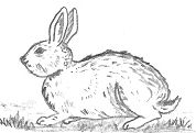 Rabbit Template Drawing