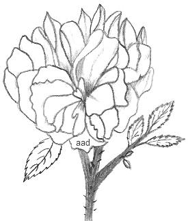 Drawing Of A Shrub Rose